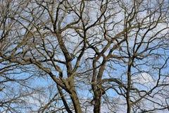 Ветви дуба без листьев Стоковые Фото