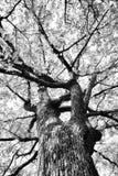 Ветви дуба низкого угла ультракрасные - черно-белые Стоковое фото RF