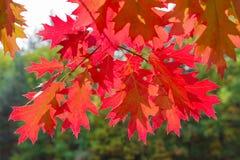 Ветви дуба осени против леса Стоковое фото RF