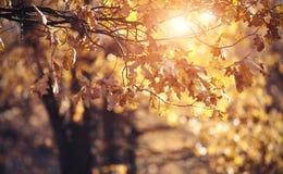 Ветви дуба осени с увяданными листьями Стоковая Фотография RF