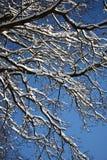 Ветви дуба под снежком Стоковые Фотографии RF