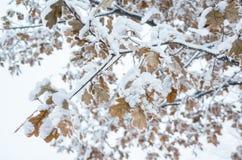 Ветви дуба предусматриванные с выставкой Стоковое Фото