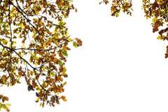 Ветви дуба с листьями желтого цвета и коричневого цвета в осени паркуют на изолированной белой предпосылке Стоковые Фото