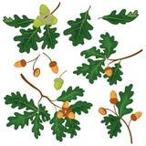Ветви дуба с листьями и жолудями бесплатная иллюстрация