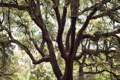Ветви дуба Стоковая Фотография RF