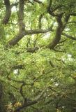 Ветви дуба Стоковые Фото