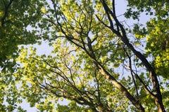 Ветви дуба Стоковые Изображения