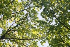 Ветви дуба Стоковая Фотография