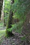 Ветви хвойного дерева в лесе лета Стоковая Фотография RF