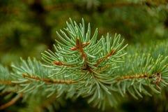 Ветви хвой Стоковые Фотографии RF