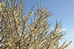 Ветви цвести сливы вишни с белыми цветками и unblown бутонами против голубого неба захода солнца стоковое изображение rf