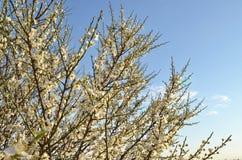 Ветви цвести сливы с белыми цветками против голубого неба стоковое фото