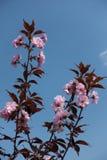 2 ветви цвести японская вишня Стоковые Фотографии RF