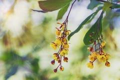 Ветви цветя барбариса на предпосылке солнца и растительности Весна стоковая фотография rf