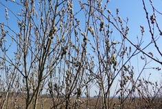 Ветви цветя верб Стоковые Изображения RF