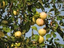 Ветви Яблока с малыми северными яблоками стоковые изображения