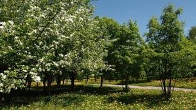 Ветви яблони вполне Blossoming цветков сток-видео