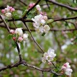 Ветви яблони с цветками и бутонами весной Стоковое Изображение