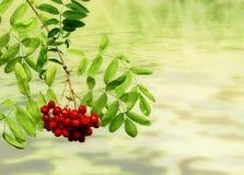 ветви ягод Стоковые Фото