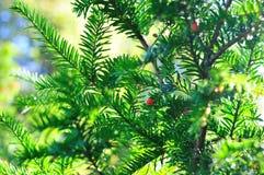ветви ягод предпосылки coniferous Стоковое Фото