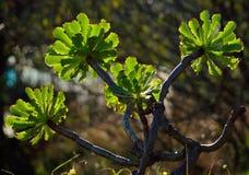 Ветви aeonium стоковые изображения