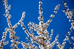 Ветви blossoming дерева Вишневое дерево в белых цветках Запачкать предпосылка Стоковые Изображения
