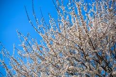 Ветви blossoming дерева Вишневое дерево в белых цветках Запачкать предпосылка Стоковые Фото