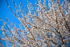 Ветви blossoming дерева Вишневое дерево в белых цветках Запачкать предпосылка Стоковое фото RF