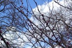Ветви canadensis cercis с розовыми бутонами Стоковые Фото