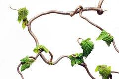 ветви gnarled Стоковое Изображение