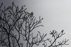 Ветви Plumeria & x28; frangipani& x29; дерево на предпосылке неба в сером цвете Стоковые Фотографии RF