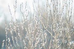ветви Pussy-вербы с catkins, предпосылкой весны стоковое изображение