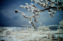Ветви Snowy Стоковое Изображение