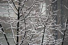 Ветви Snowy Стоковая Фотография