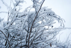 Ветви Snowy Стоковые Изображения