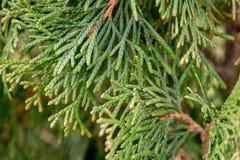 ветви spruce вал Стоковое Изображение RF