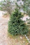 ветви spruce вал Стоковые Изображения