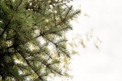 ветви spruce вал Стоковое Фото