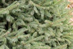 ветви spruce вал Стоковые Изображения RF