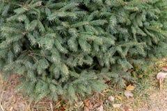 ветви spruce вал Стоковое Изображение