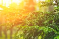 ветви spruce Украшайте в лесе на солнечный день Кристмас Tree ель Стоковое фото RF