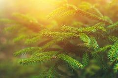 ветви spruce Украшайте в лесе на солнечный день Кристмас Tree ель Стоковые Изображения RF