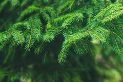 ветви spruce Украшайте в лесе на солнечный день Кристмас Tree ель Стоковое Изображение RF
