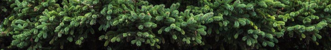 ветви spruce Стоковые Фото