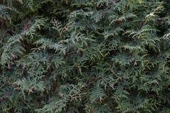 Ветви tuya Стоковая Фотография