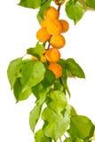 Ветвь абрикоса на светлой предпосылке Стоковые Изображения