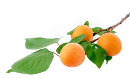 Ветвь абрикоса Стоковое фото RF