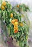 Ветвь абрикоса Стоковые Фотографии RF
