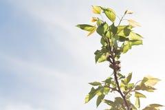 Ветвь абрикоса Стоковая Фотография