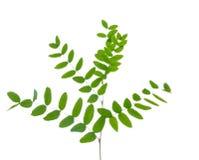 Ветвь акации при листья зеленого цвета изолированные на белизне Стоковые Фотографии RF
